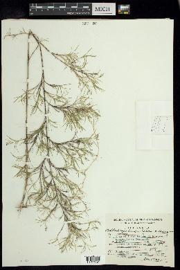 Muhlenbergia dumosa image