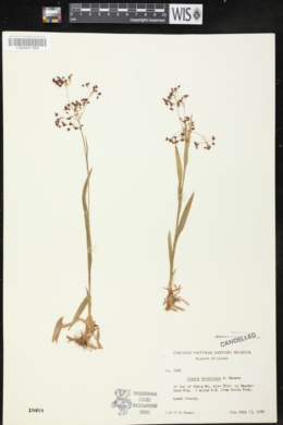 Image of Luzula divaricata