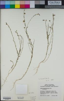 Linum bienne image
