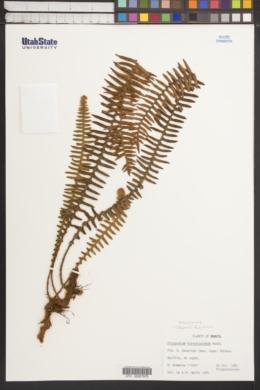 Image of Pleopeltis hirsutissima