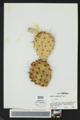 Opuntia cymochila image