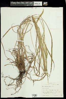Paspalum dilatatum image