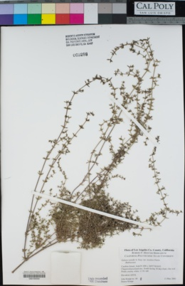 Galium nuttallii image