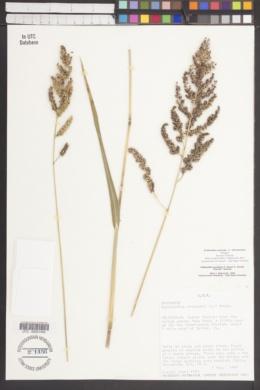 Echinochloa esculenta image