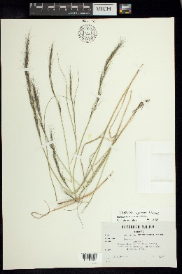 Image of Aristida appressa