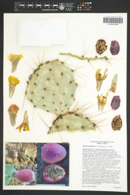 Opuntia martiniana image