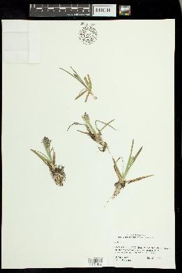 Poa alpina image