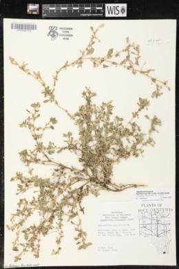 Amaranthus blitoides image