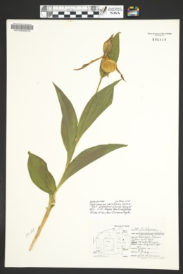 Cypripedium parviflorum image