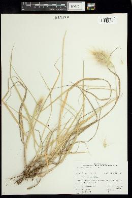 Pennisetum villosum image