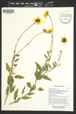 Encelia californica image