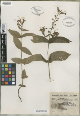 Image of Salvia viscidifolia