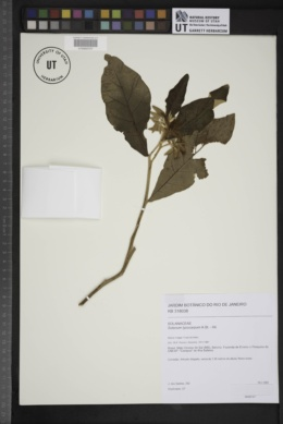 Image of Solanum lycocarpum