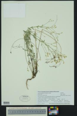 Linum schiedeanum image