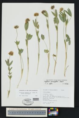 Trifolium longipes subsp. pygmaeum image
