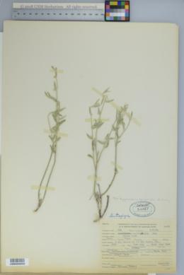 Image of Argythamnia sericophylla