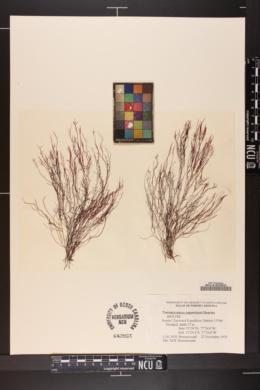 Trematocarpus papenfussii image