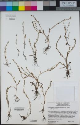 Plagiobothrys bracteatus image