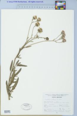 Image of Palafoxia lindenii