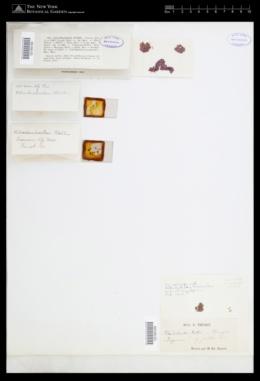 Rhodochorton purpureum image