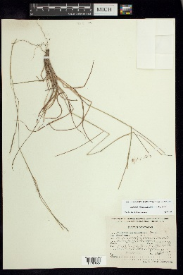 Schizachyrium sanguineum image