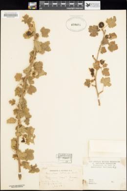 Image of Ribes tularense