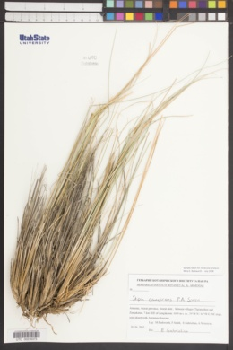 Image of Stipa canescens