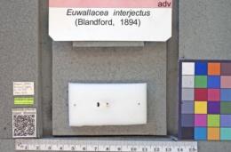 Euwallacea interjectus image
