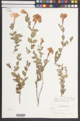 Image of Macrosiphonia dulcis