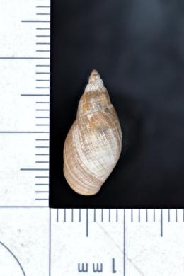 Stagnicola palustris image