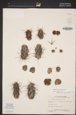 Cylindropuntia prolifera image