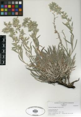 Image of Oreocarya leucophaea