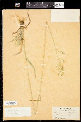 Image of Bromus orcuttianus