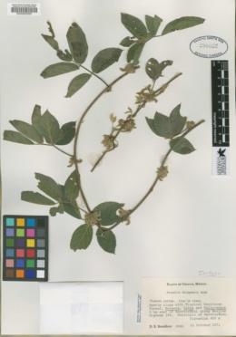 Image of Nissolia chiapensis