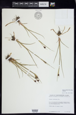 Juncus castaneus image