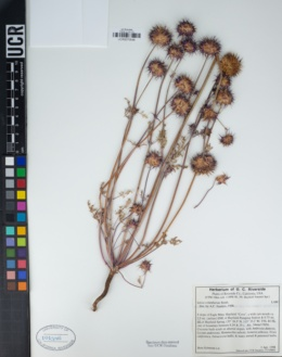 Salvia columbariae image