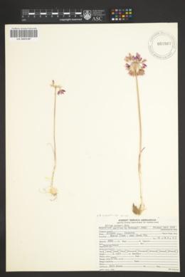 Allium bisceptrum var. palmeri image