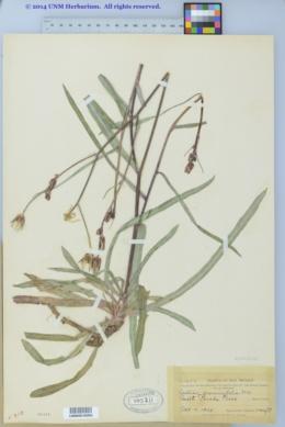 Lactuca graminifolia image
