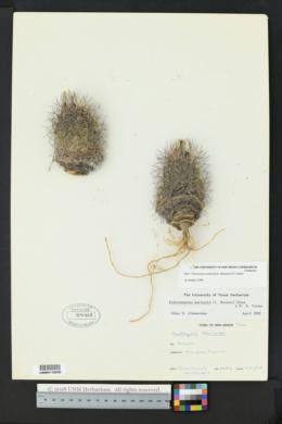 Sclerocactus warnockii image