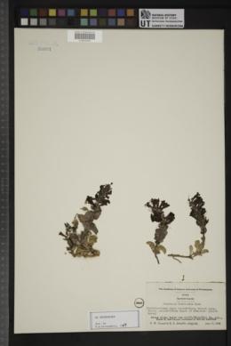 Penstemon bracteatus image
