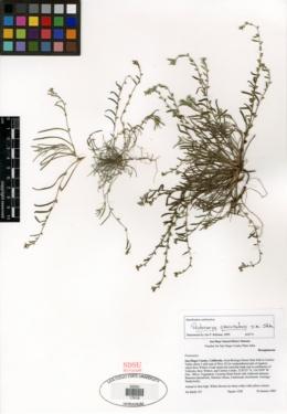 Pectocarya peninsularis image