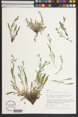 Hackelia ibapensis image