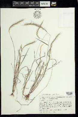 Image of Muhlenbergia pereilema