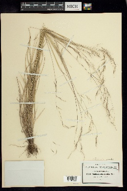 Image of Triniochloa stipoides
