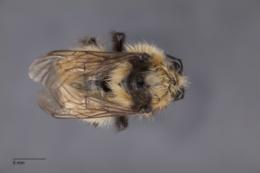 Bombus bifarius image