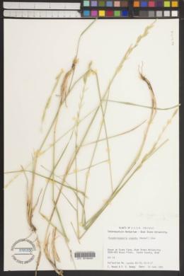 Image of Pseudoroegneria cognata