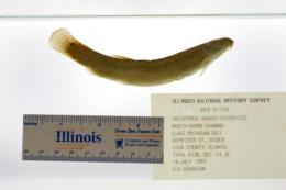 Misgurnus anguillicaudatus image