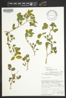 Melilotus alba image
