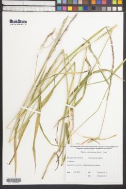 Image of Elymus kronokensis