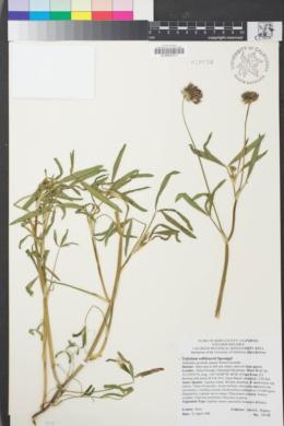 Image of Trifolium willdenovii